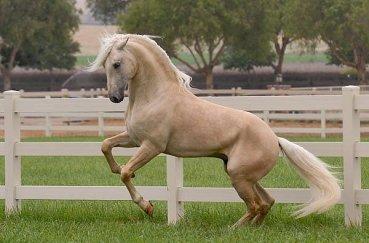 Соловый конь в загоне