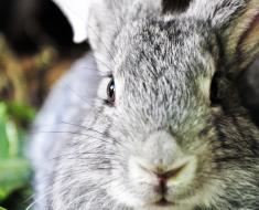 Полтавский Серебристый кроль