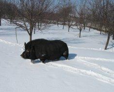 Самец на снегу