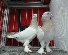 Два белых голубя Такла