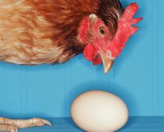 Курица смотрит на яйцо