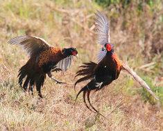 Драка самцов фазанов