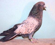 Кировоградский голубь в профиль