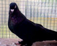 Черный голубь Такла