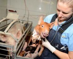 Ветеринарный осмотр зараженного поросенка