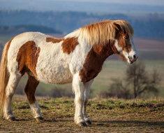 Исландский пятнистый конь