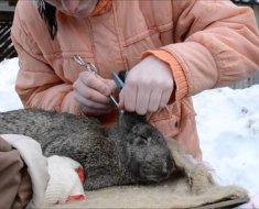 Осмотр ушей кролика