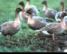 Птицы гуляют по траве