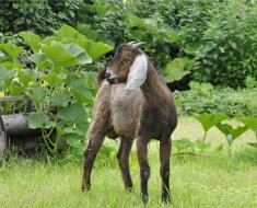 Коричневая коза-нубийка среди кустов