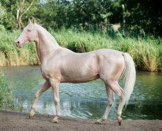 Лошадь изабелловой масти