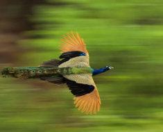 Жар-птица летит