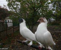 Щекатые Иранские белые голуби
