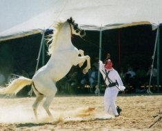 Арабский жеребец во всей красе