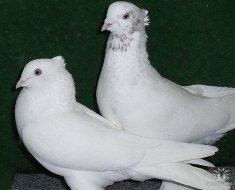 Два Андижанских голубя