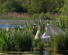 Белый лебедь в воде