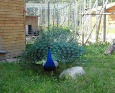 Павлин на страусиной ферме в Белоострове