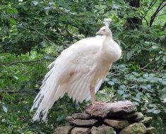Павлин белого окраса