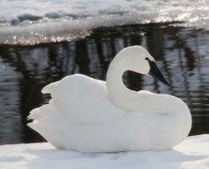Белый лебедь на снегу