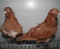 Пара голубей породы Китайская чайка