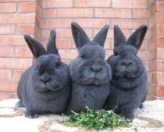 Три забавных ушастика