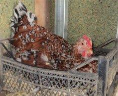 Ливенская курица в гнезде