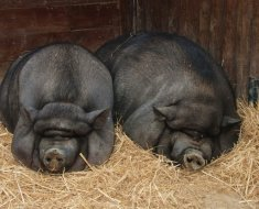 Свинки у которых стимулируют рост