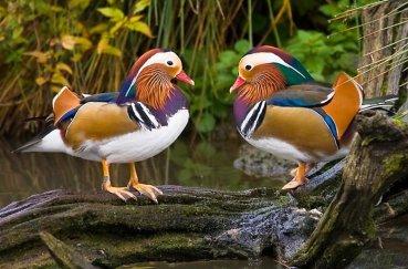 Два самца Мандаринки