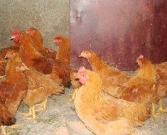 Домашняя птица породы Лисий Цыпленок в курятнике