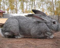 Кролик породы серый великан в полный рост