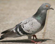 Взрослый голубь во весь рост