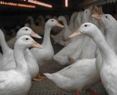 Утки породы Черри Велли в птичнике