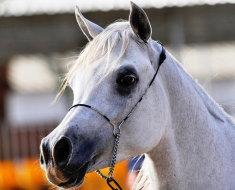 Арабский конь крупным планом