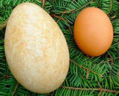 Утиное и куриное яйцо