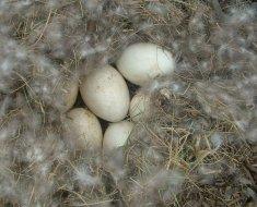 Гусиные яйца в сене с пухом