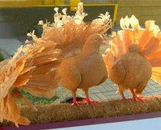 Голуби-павлины греются на солнце