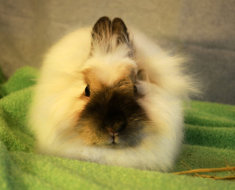 Порода кроликов карликовая лиса