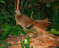 Самка Золотого фазана