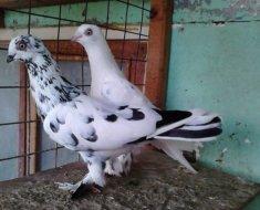 Венгерские пестрые голуби