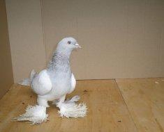 Бакинский бойный голубь в коробке