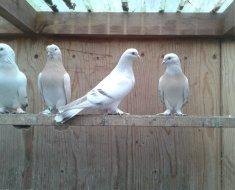 Четыре белых голубя Такла