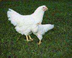 Белый Плимутрок с цыпленком