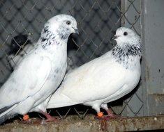 Пакистанские голуби смотря друг на друга