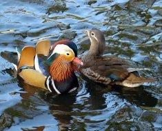 Селезень и утка плывут