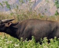 Филиппинский буйвол