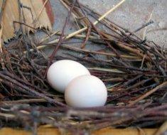 Пара яиц голубя в гнезде