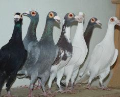 Несколько голубей породы Барб