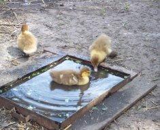 Утята плавают в корыте