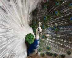 Двуцветная птица