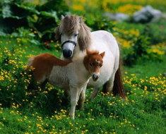 Шотландские пони