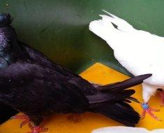 Черные и белый Иранские голуби